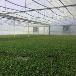 sutherland-seedlings-plants-stockists-sales-baby-lettuce-farming-farmers-nursery-seeds-growth-growers-
